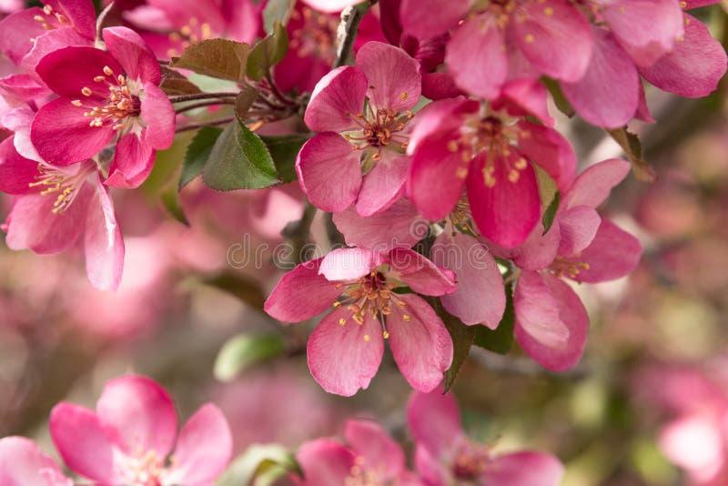 Розовые цветения яблони краба стоковая фотография