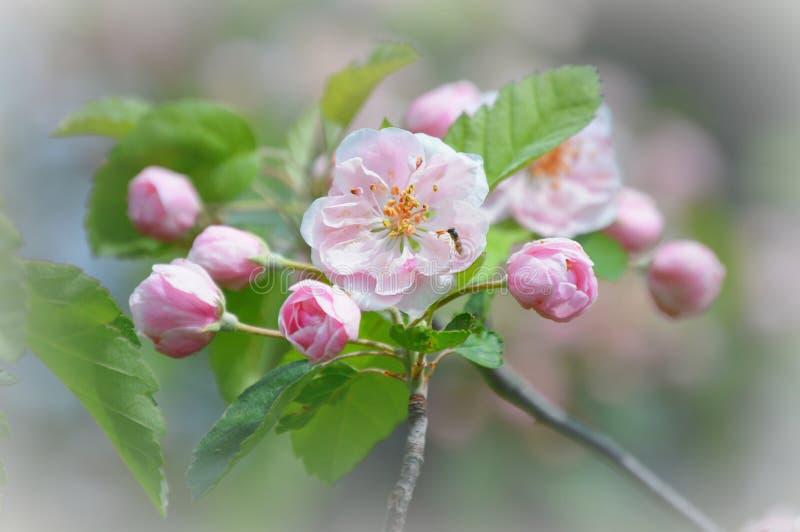 Розовые цветения Яблока при малая пчела опыляя стоковое фото rf