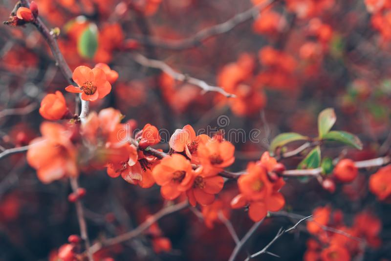 Розовые цветки айвы стоковые изображения