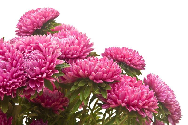 Розовые цветки астры стоковая фотография
