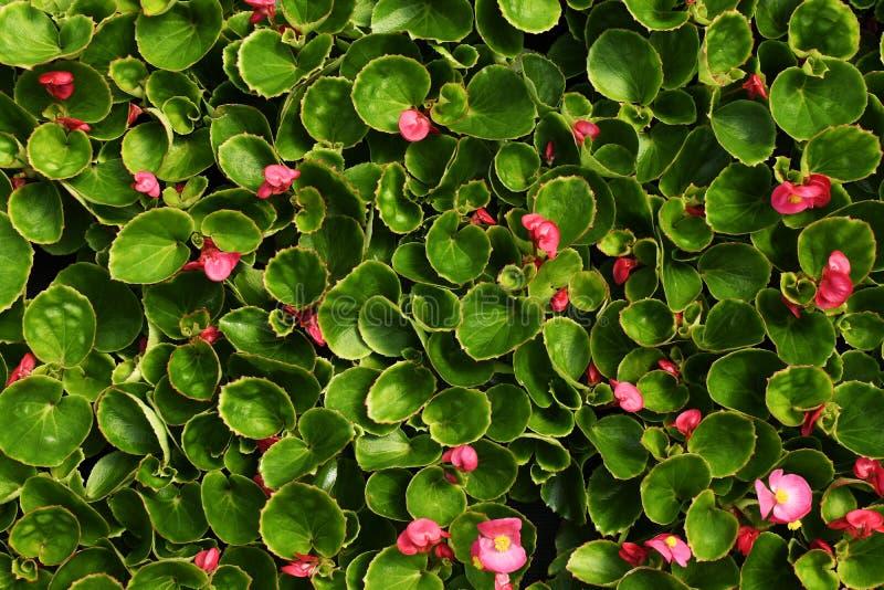 Розовые цветки бегонии с листьями стоковые изображения rf