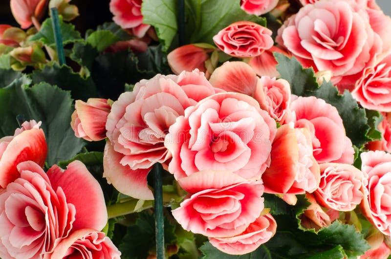 Розовые цветки бегонии стоковые изображения