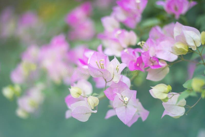 Розовые цветки бугинвилии стоковые изображения rf