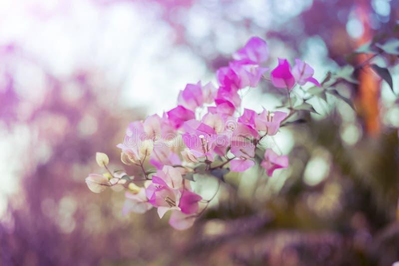 Розовые цветки бугинвилии стоковое изображение