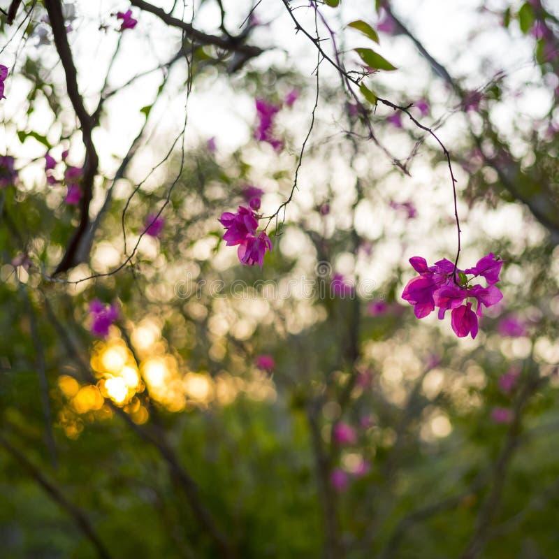 Розовые цветки бугинвилии стоковые фото