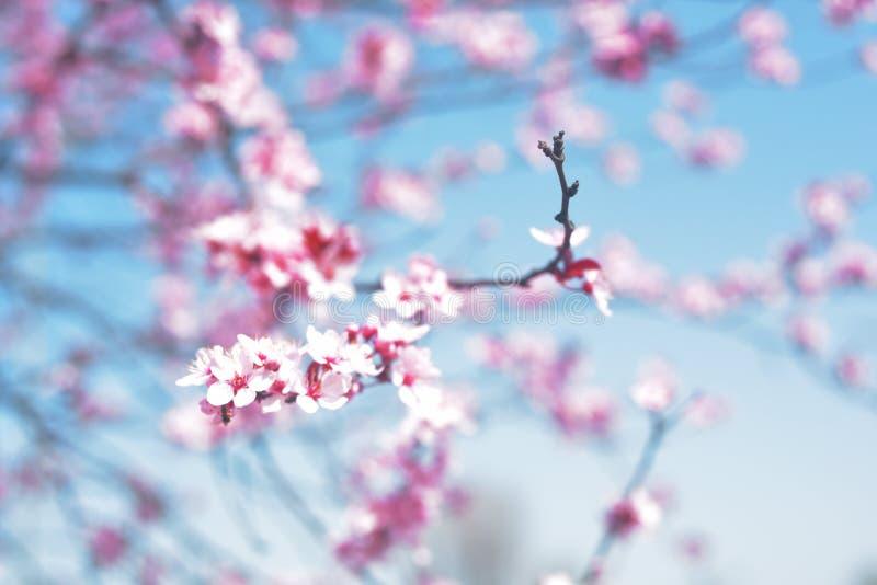 Розовые цветки весны, голубое небо Весеннее время Предпосылка цветения весны Красивая сцена природы с зацветая деревом и солнце f стоковое изображение
