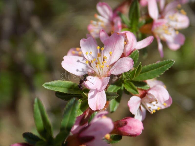 Розовые цветки весны стоковые изображения rf