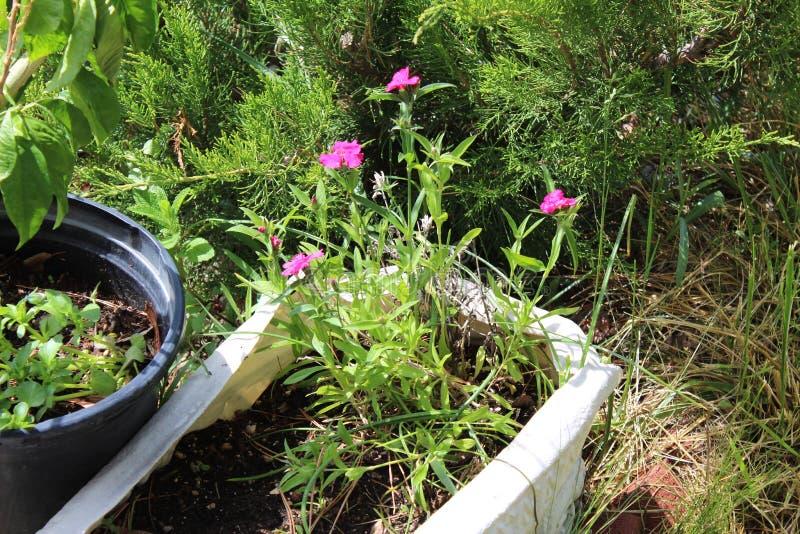Розовые цветки в баке стоковая фотография