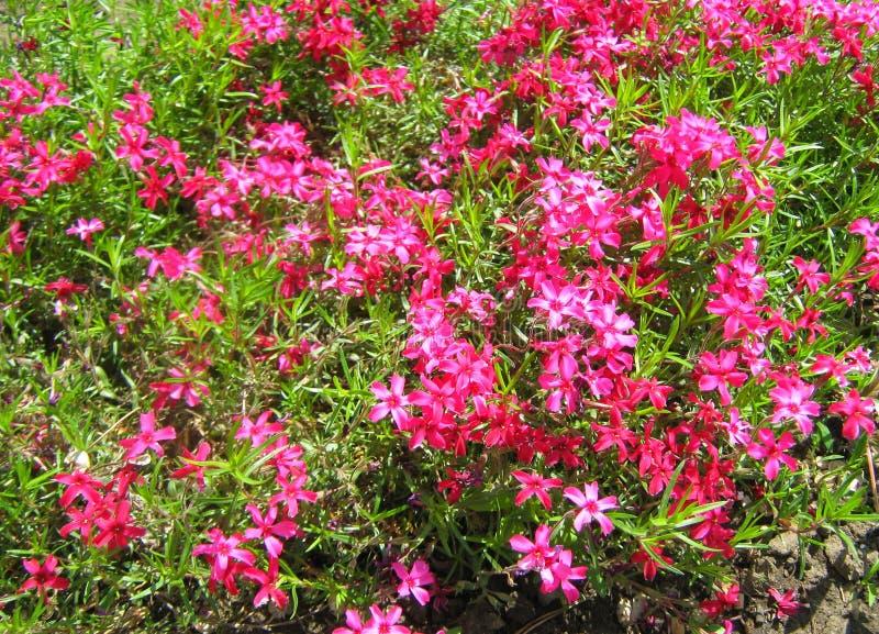 Розовые цветки в зеленом цвете стоковые фото