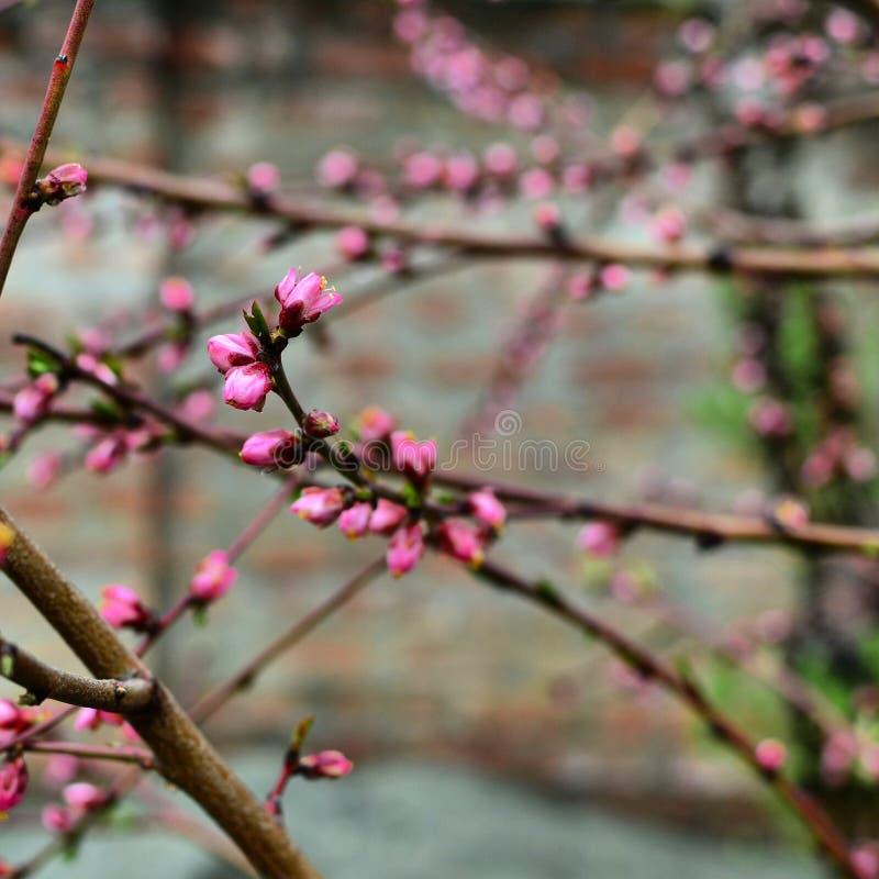 Розовые цветки в Кашмире стоковые фотографии rf