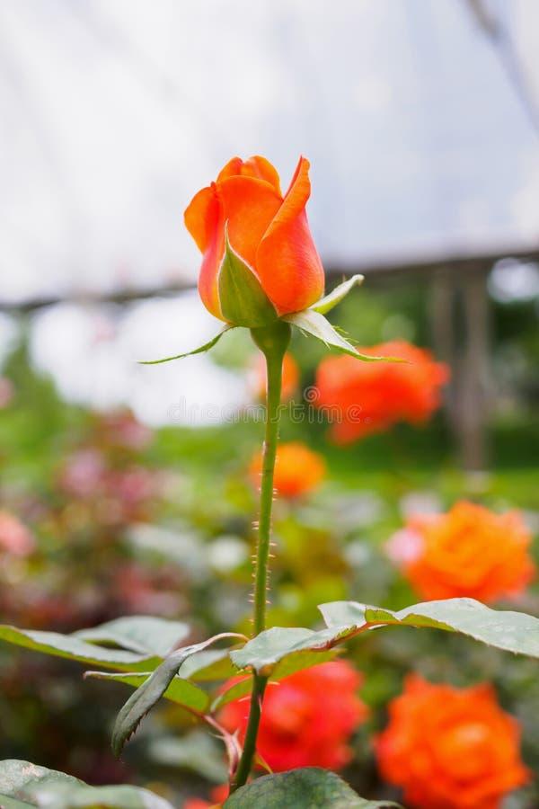 Розовые цветки в плантации парника стоковые фото