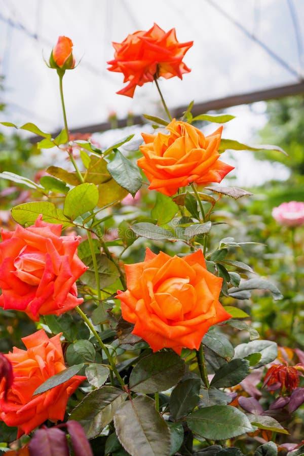 Розовые цветки в плантации парника стоковые фотографии rf