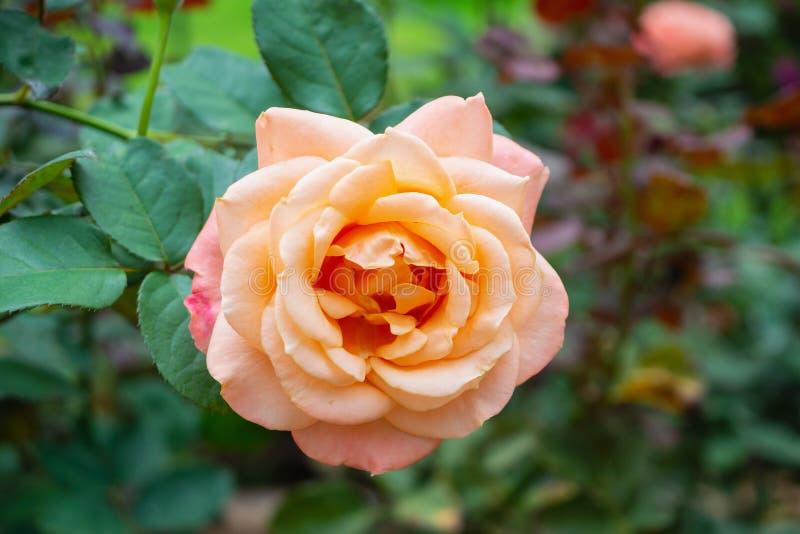 Розовые цветки в плантации парника стоковое фото