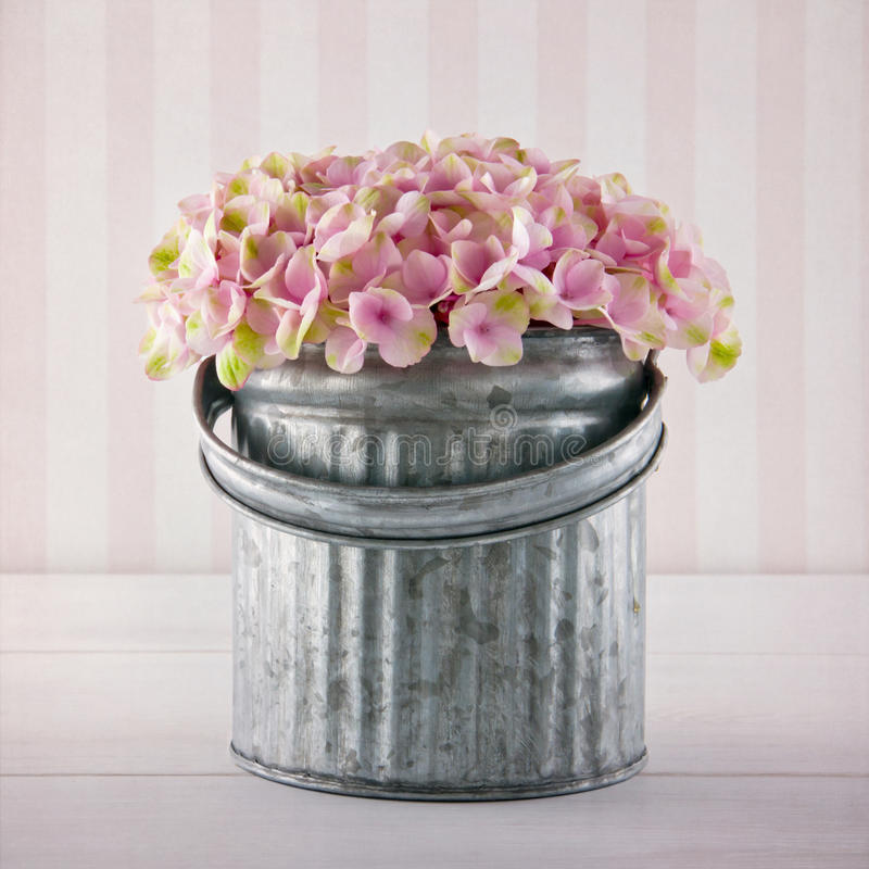 Розовые цветки гортензии в ведре металла стоковые фото