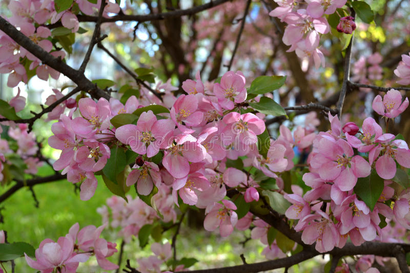 Розовые цветки декоративной яблони Красивое цветение в солнечном дне стоковые изображения