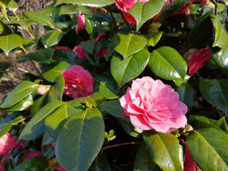 Розовые цветки завода японца камелии розового во время весеннего времени стоковое фото