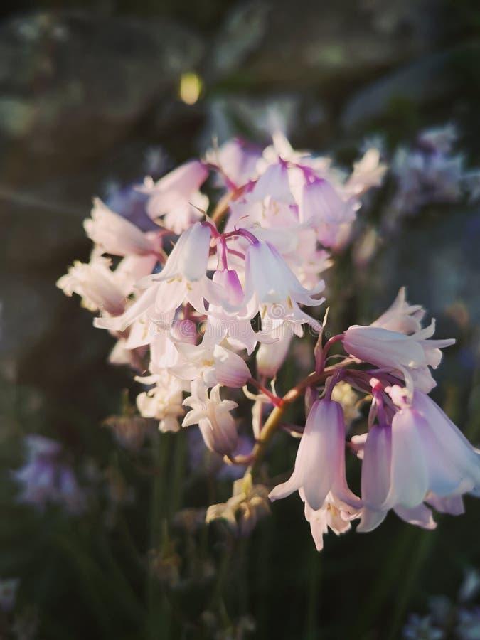 Розовые цветки зацветают в Норвегии стоковое фото