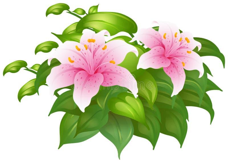 Розовые цветки лилии в зеленом кусте иллюстрация штока