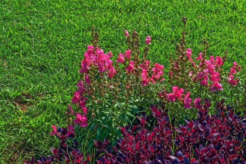 Розовые цветки и фиолетовый куст любят заводы на предпосылке травы стоковое фото