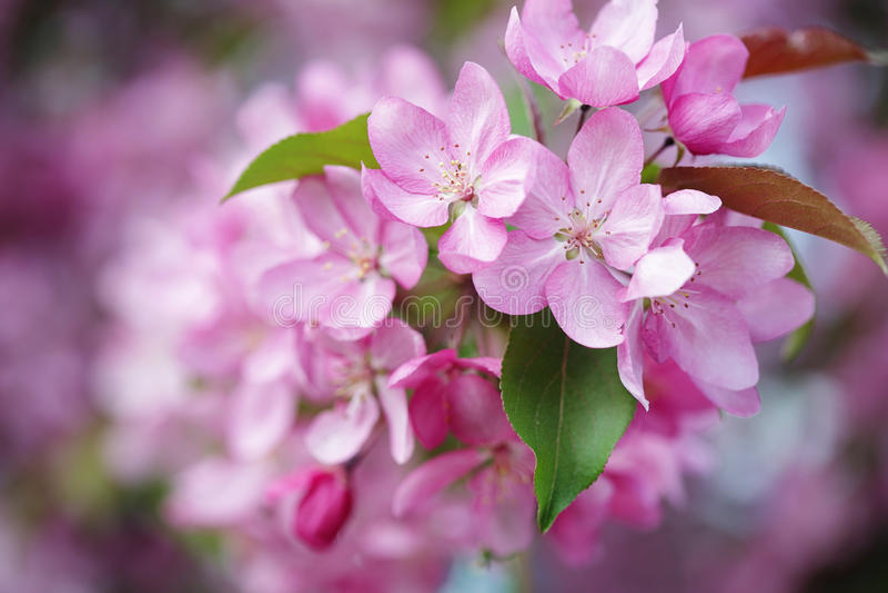 Розовые цветки конца яблони вверх стоковое изображение