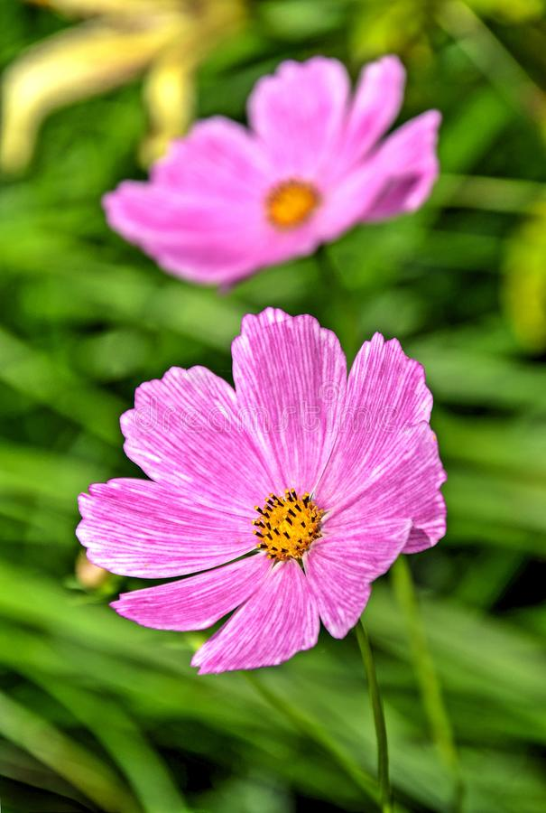 Розовые цветки космоса на расплывчатой зеленой предпосылке стоковые изображения