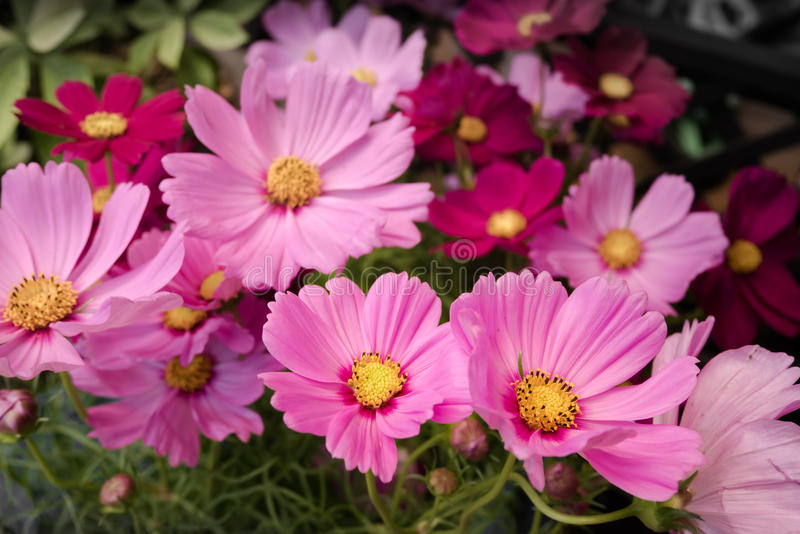 Розовые цветки космоса с тускловатой предпосылкой стоковое фото