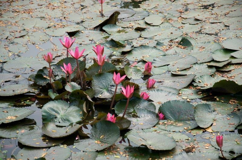 Розовые цветки лотоса с темными ыми-зелен листьями стоковое фото