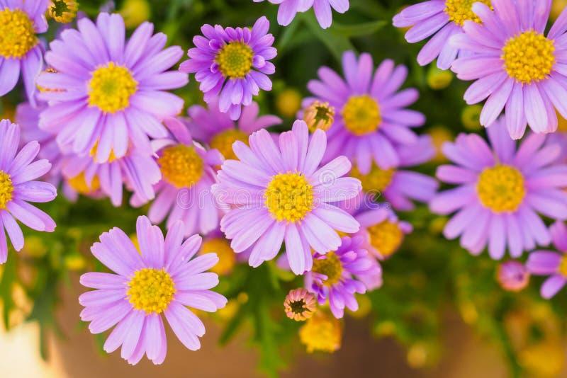Розовые цветки маргаритки стоковое изображение