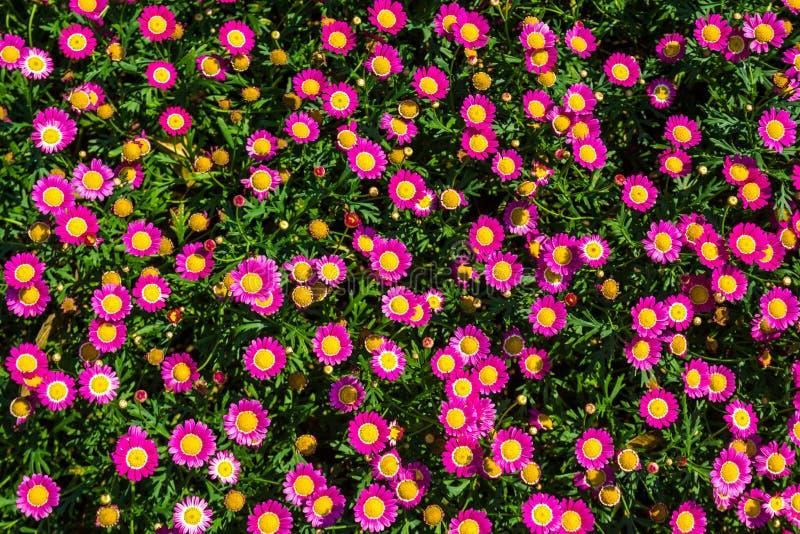 Розовые цветки маргаритки стоковые фотографии rf