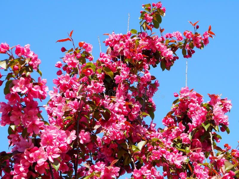 Розовые цветки на ветвях Яблока стоковая фотография