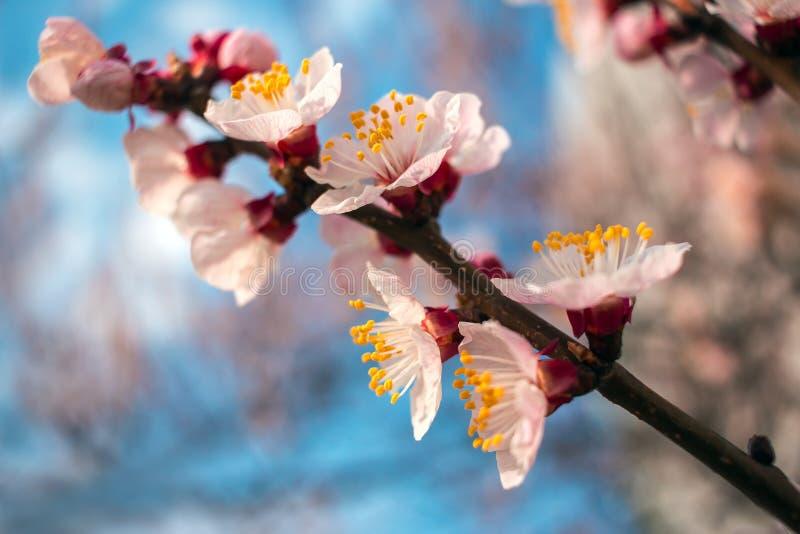 Розовые цветки на голубом конце-вверх предпосылки Деревья цветеня весны стоковое изображение rf