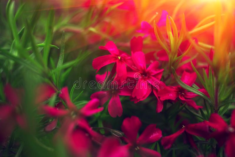 Розовые цветки на зеленой траве на заходе солнца стоковое изображение rf