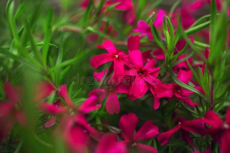Розовые цветки на конце-вверх зеленой травы стоковая фотография