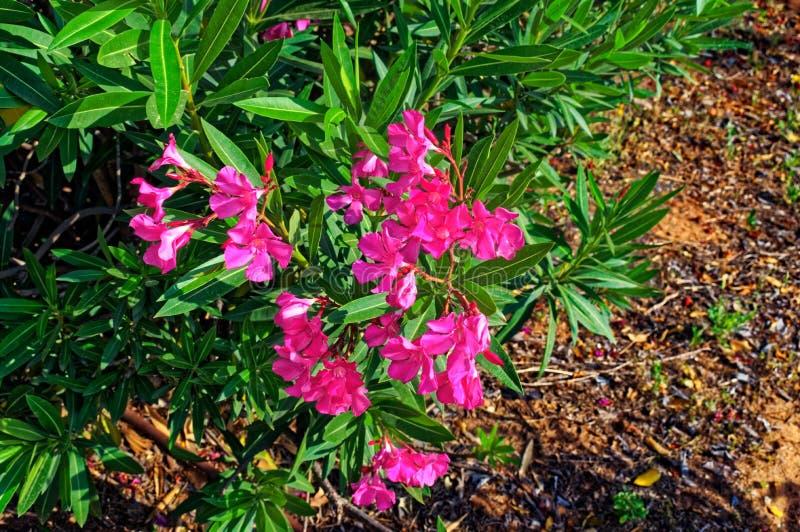 Розовые цветки на конце куста вверх стоковые фото