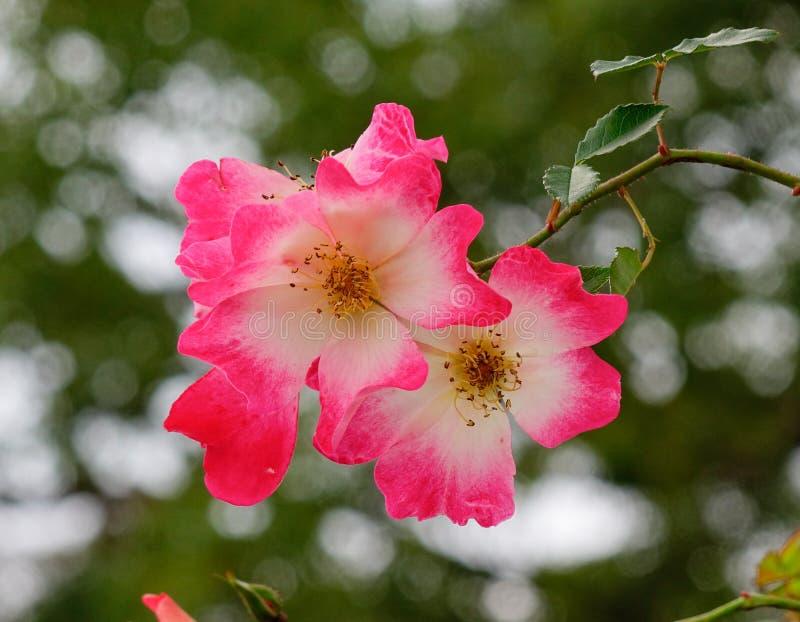 Розовые цветки на саде в Киото, Японии стоковая фотография rf