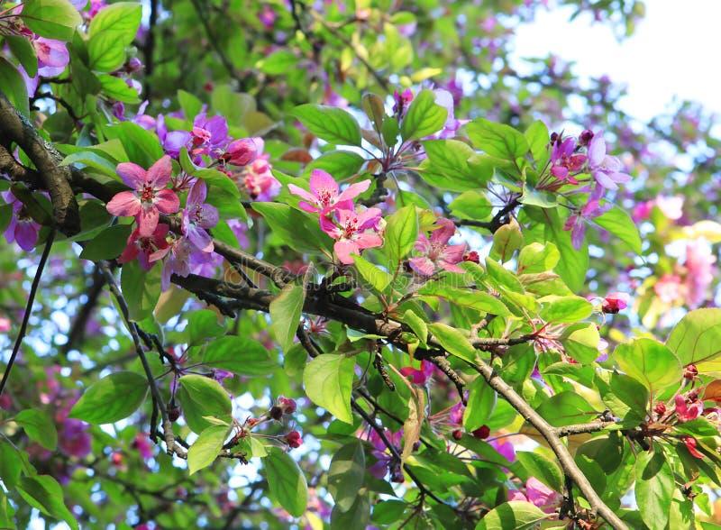 Розовые цветки на яблоне r Цвести сад стоковое изображение