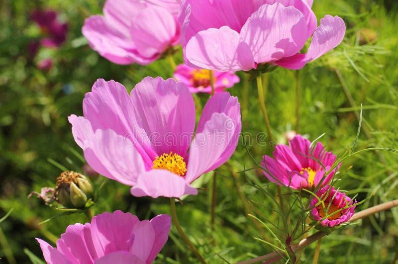 Розовые цветки на flowerbed стоковое фото rf