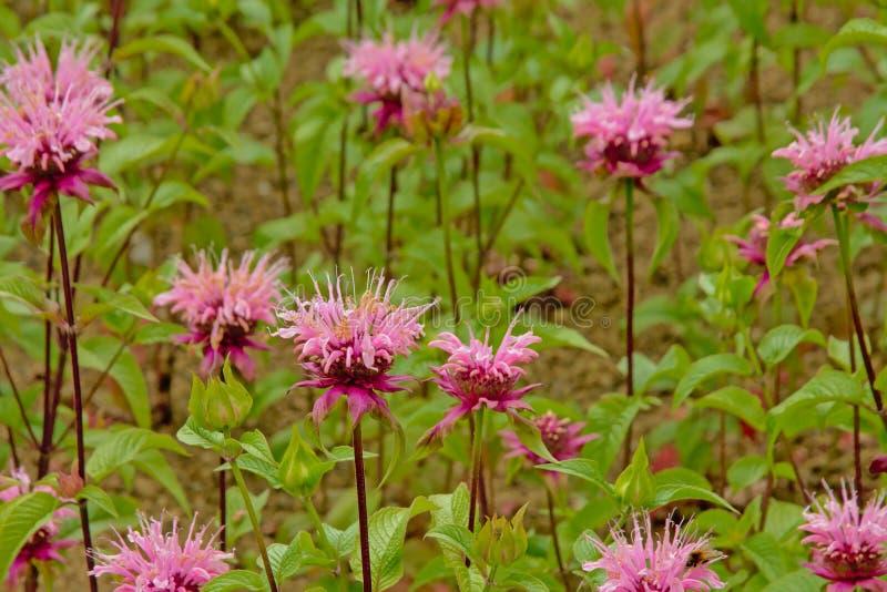 Розовые цветки одичалого бергамота - fistulosa Monarda стоковая фотография