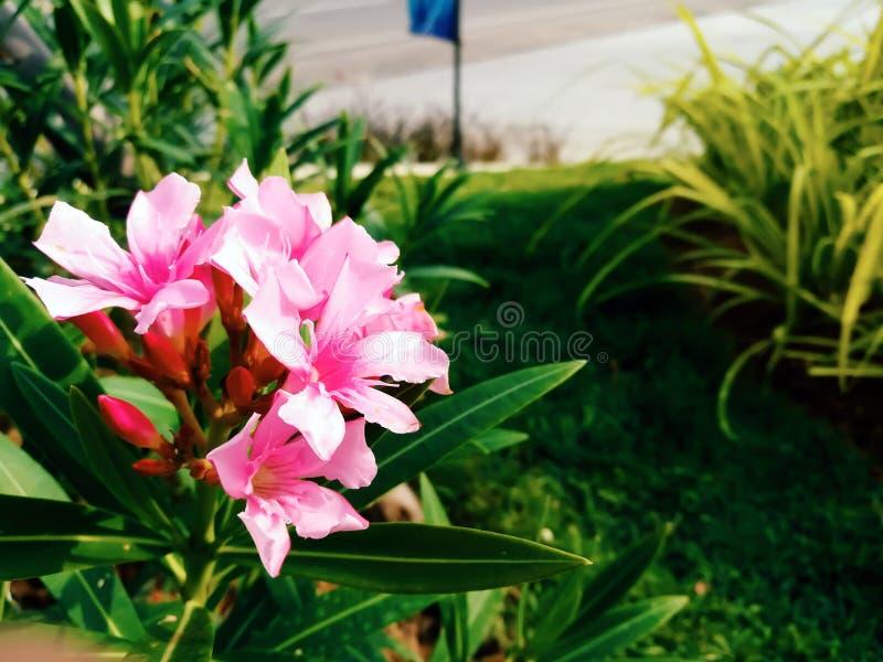 Розовые цветки олеандра в саде стоковые изображения rf