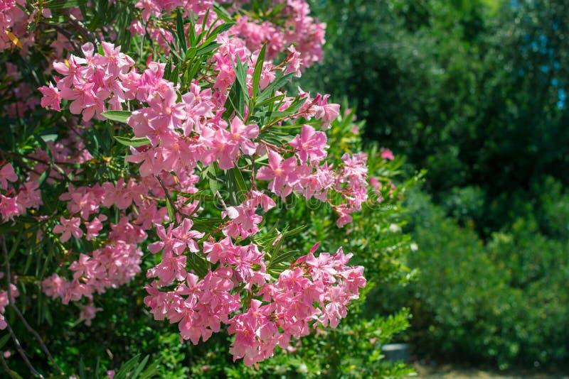 Розовые цветки олеандра на зеленой предпосылке листьев стоковая фотография rf