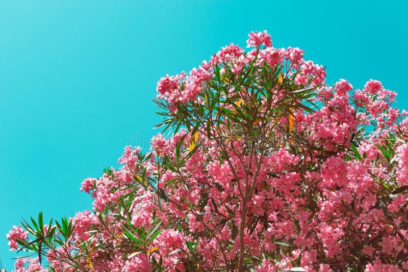 Розовые цветки олеандра на предпосылке голубого неба стоковая фотография rf