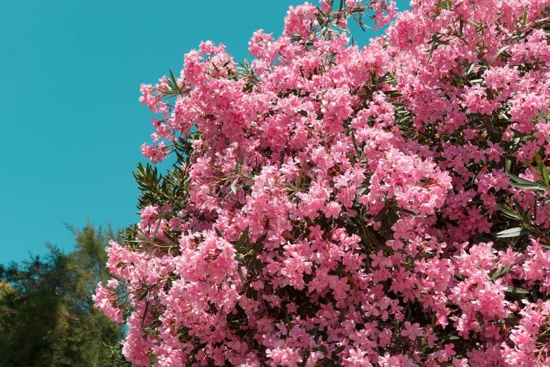 Розовые цветки олеандра на предпосылке голубого неба стоковые изображения rf
