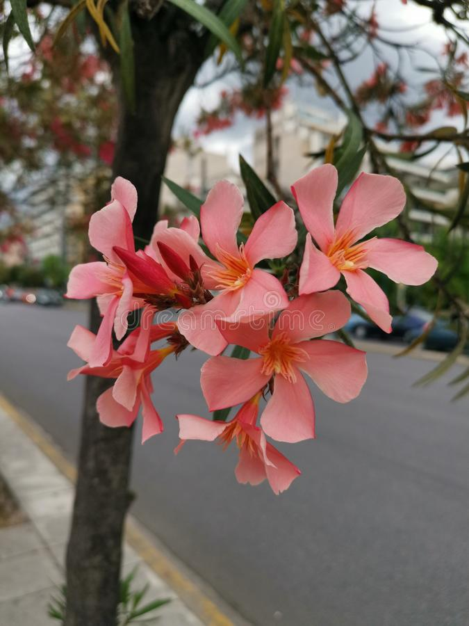 Розовые цветки олеандра Nerium вдоль улицы стоковые фотографии rf