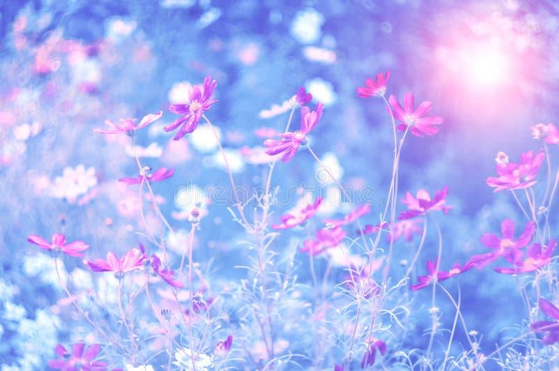 Розовые цветки поля и луга в солнечном свете захода солнца на подкрашиванной голубой запачканной предпосылке Красивое мечтательно стоковые изображения