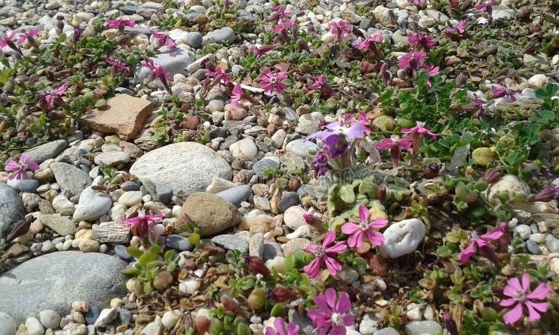 Розовые цветки пляжа стоковые фотографии rf