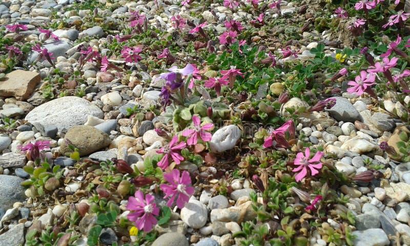 Розовые цветки пляжа стоковое изображение