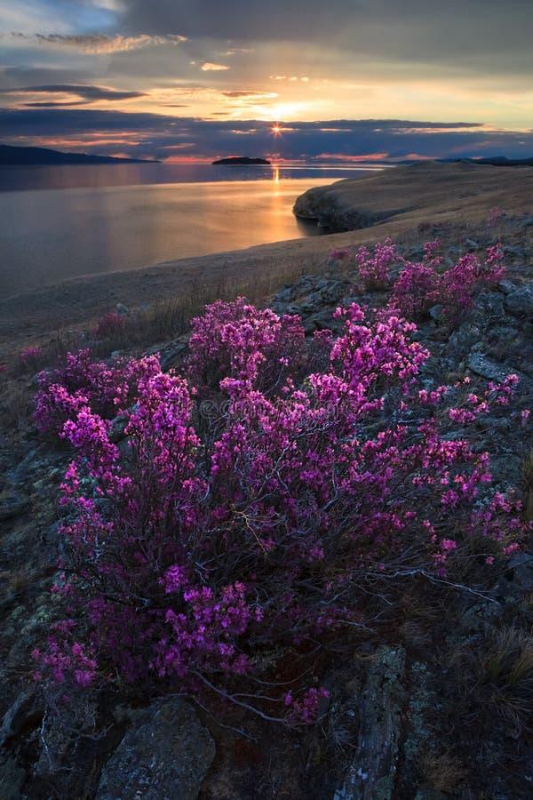Розовые цветки рододендрона на предпосылке восхода солнца весной стоковые фото