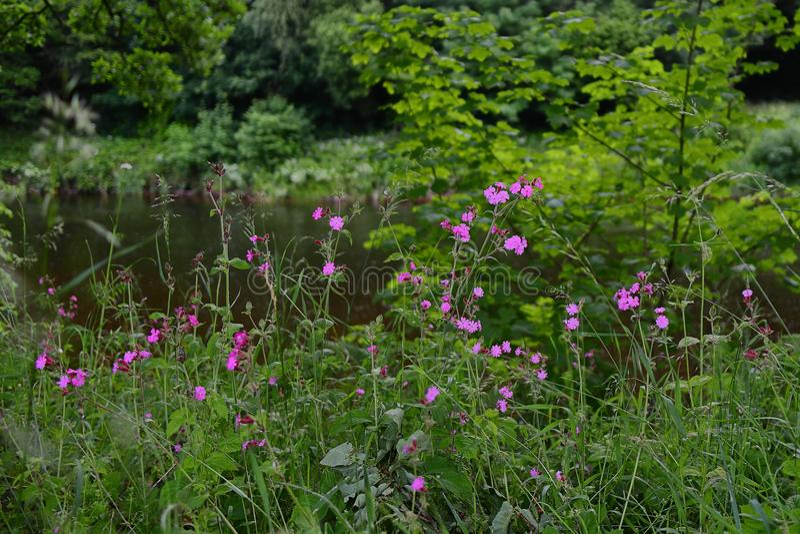 Розовые цветки рядом с рекой стоковая фотография rf