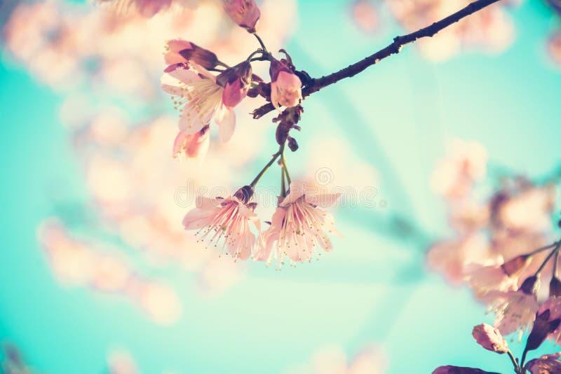 Розовые цветки Сакуры в винтажном тоне стоковые изображения rf