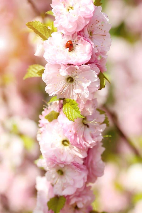 Розовые цветки с ladybug стоковое фото rf